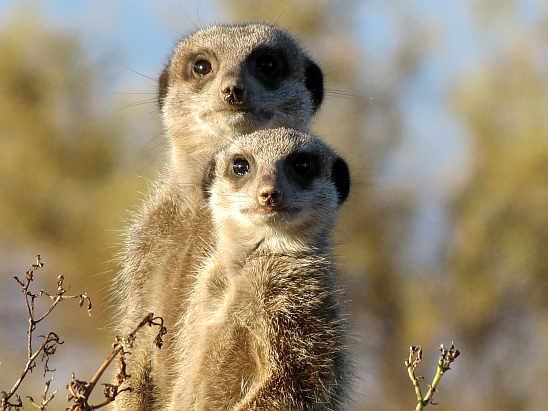meerkat-255564_1920
